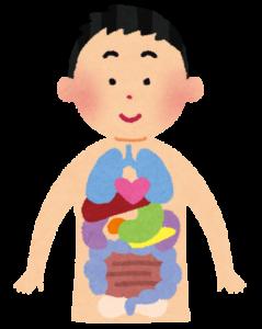 人間の臓器配置が分かるイメージイラスト